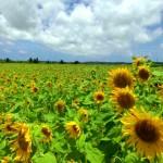 高野のヒマワリ畑(宮古島)